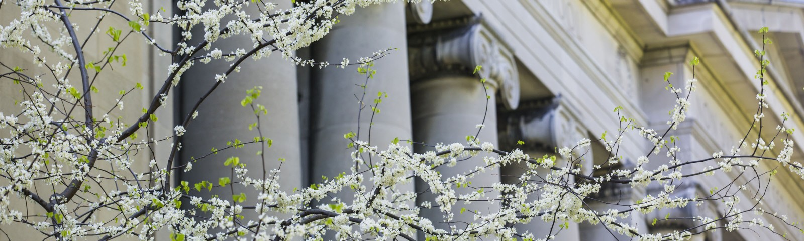Trees blossoming outside Langdell Hall