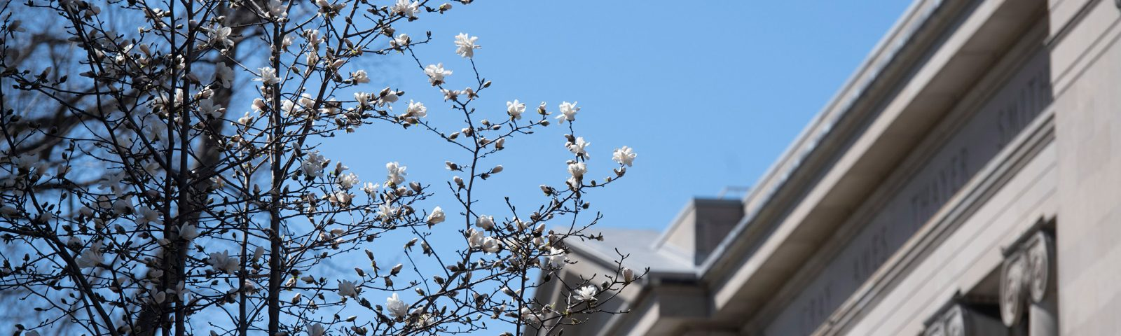 White flowers bloom in front of Langdell Hall