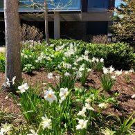 White daffodils blooming on the HLS campus.